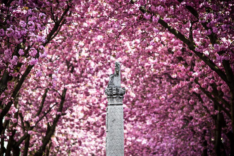 Kirschblüte Bonn/Altstadt